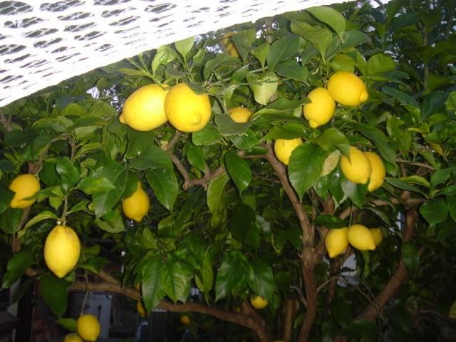 Описание сортов лимона новогрузинский, лисбон, дженоа