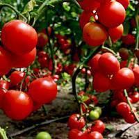 Сорта помидоров, устойчивых к фитофторозу в теплице: описание новых разновидностей томатов, над которыми не властна эта болезнь русский фермер