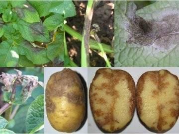 Кольцевая гниль картофеля