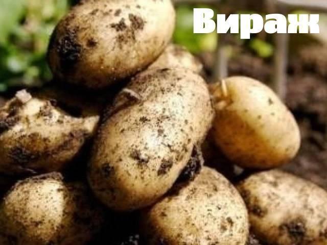 Сорт картофеля «лидер» – описание и фото