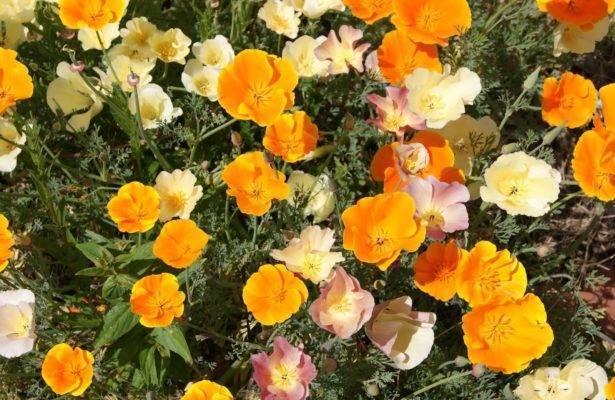 Эшшольция: посадка и уход в открытом грунте, выращивание из семян