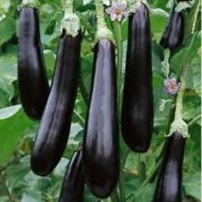 Баклажаны валентина f1: описание сорта, выращивание рассады, высадка в грунт, выбор места, правила ухода, особенности подкормки, сроки созревания, отзывы