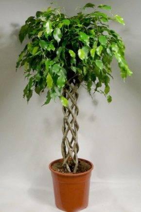 Фикус бенджамина наташа — выращивание в домашних условиях