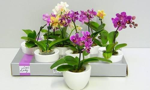 Как выращивать деток орхидеи в домашних условиях: как заставить дать побеги, что сделать для укоренения и каким образом получить гарантированный результат? selo.guru — интернет портал о сельском хозяйстве