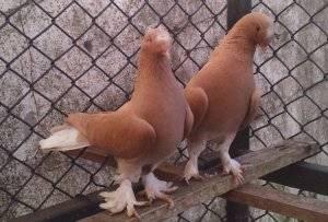 Статные голуби: описание пород и уход за ними