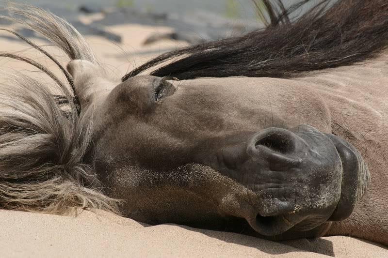 Почему лошадь, пони и другие животные спят стоя или лежа
