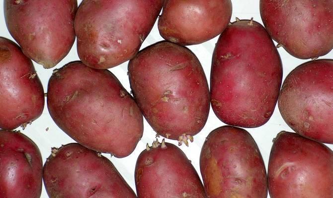 Розаланд картофель – особенности сорта + видео