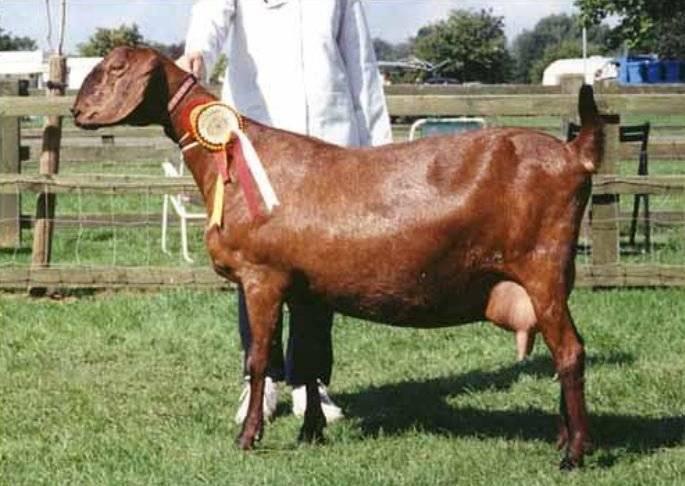 Содержание нубийских коз – описание породы с фотографиями