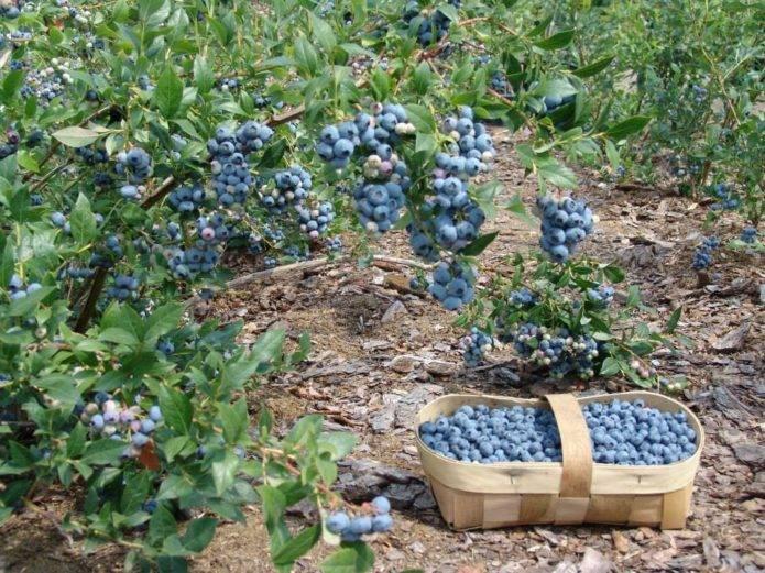Черника садовая посадка и уход: фото сортов и процедуры посадки