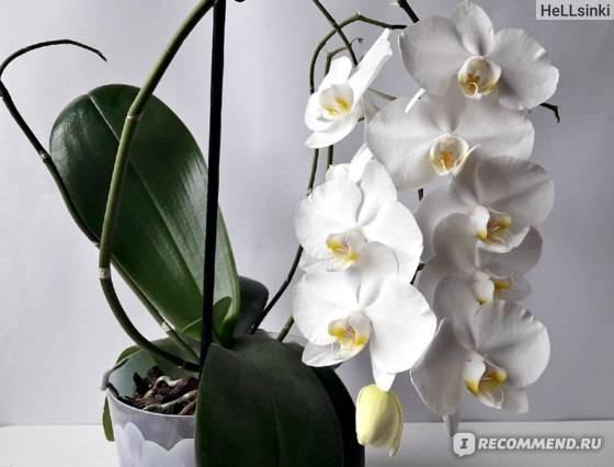 Белые орхидеи: фото фаленопсиса, названия и сорта