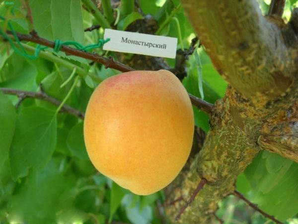 Универсальный сорт абрикоса погремок
