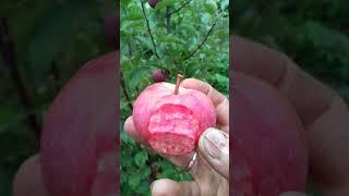 Яблоня розовый жемчуг: описание, фото, отзывы