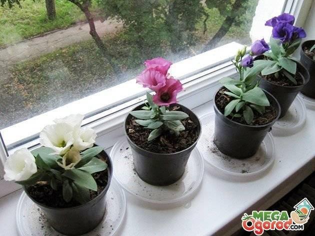 Диасция: выращивание из семян в саду и дома