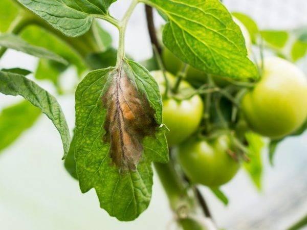 На листьях помидоров появились белые пятна: в чем причина и что делать + фото и видео