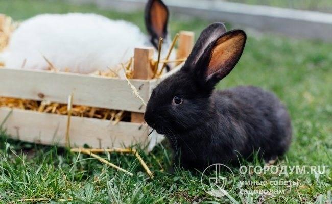 Выращивание кроликов: откорм перед забоем в домашних условиях, способы содержания
