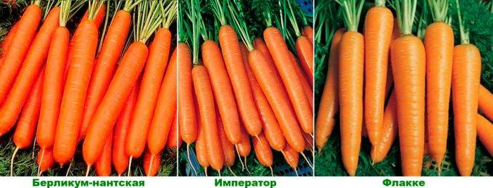 10 лучших сортов моркови