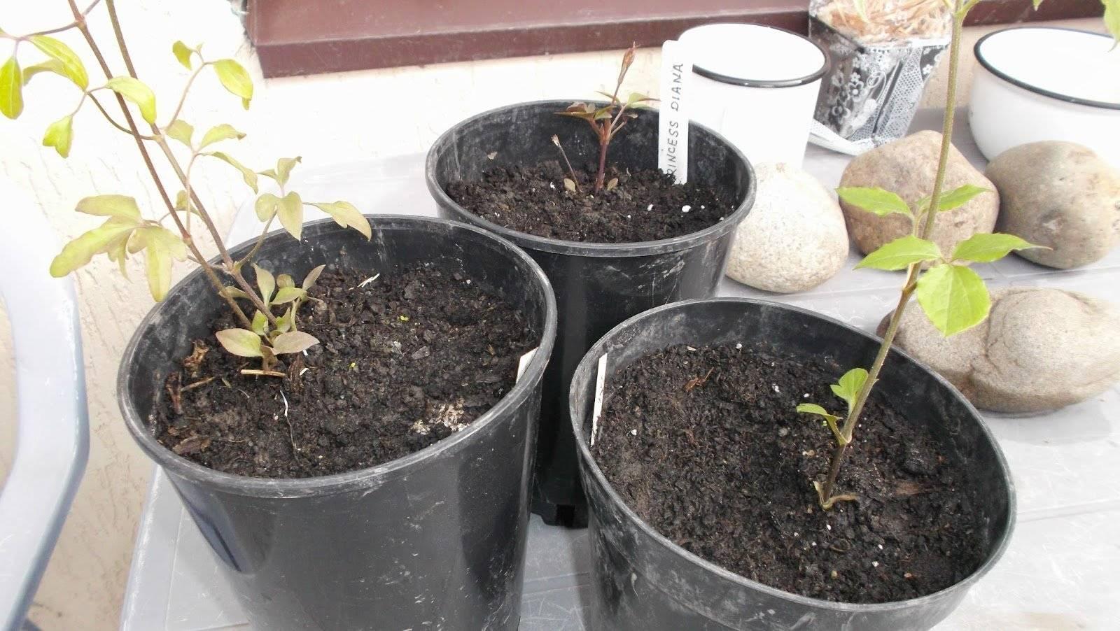 Клематис: посадка и уход в открытом грунте весной и осенью, когда высаживать?