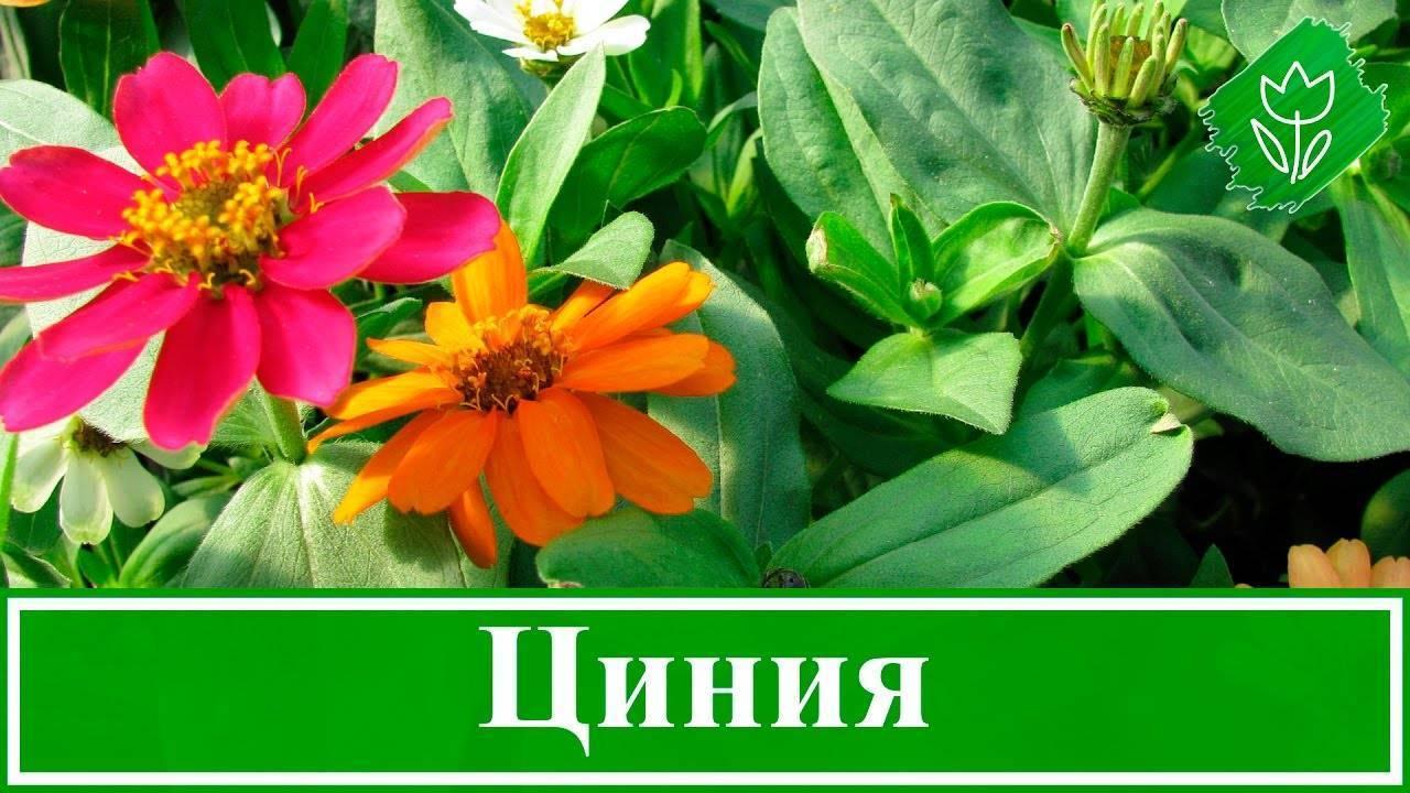 Цинния: описание и агротехника выращивания