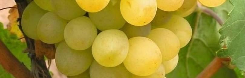 Виноград триумф амурский описание сорта фото отзывы — портал о стройке