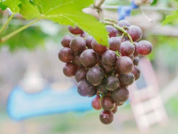 """Виноград """"фавор"""": описание сорта, фото, отзывы"""