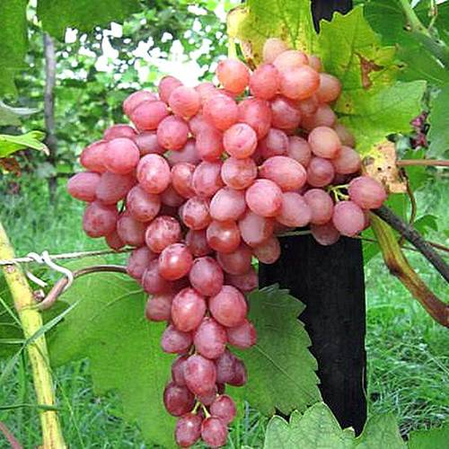 Сорт винограда мариновский – специфика неукрывного выращивания