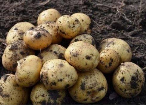 Картофель метеор: описание сорта, фото, отзывы о вкусовых качествах, характеристика и фото