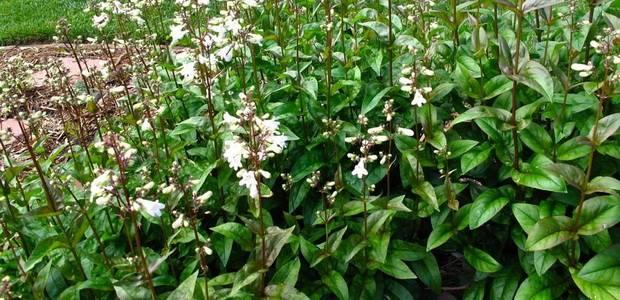 Пенстемон: фото цветка, выращивание из семян, посадка и уход в открытом грунте
