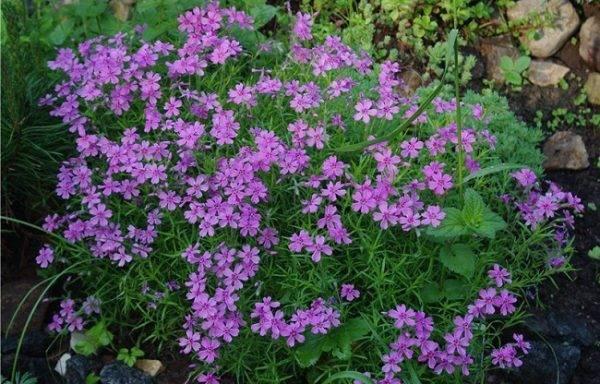 Неприхотливый цветок вискария: посадка и уход в открытом грунте, фото, выращивание растения через рассаду и посадка семян на участке