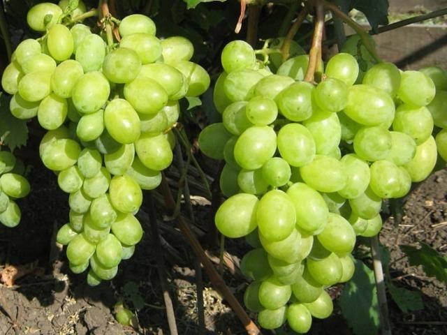Винограда тимур: описание сорта. фото и отзывы