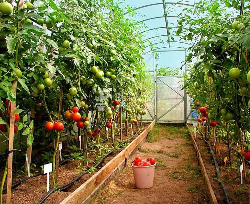 Схема подкормки помидоров: как часто нужно подкармливать томаты в теплице и открытом грунте, таблица поэтапного внесения удобрений или календарь на весь сезон