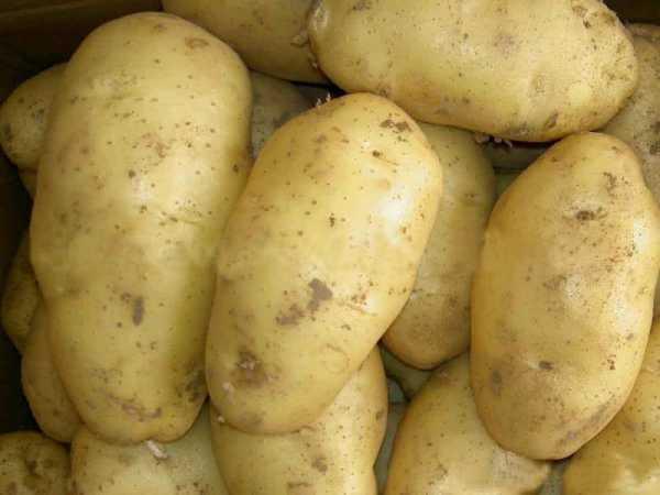 Сорта картофеля: список с названиями и фото, характеристика и описание
