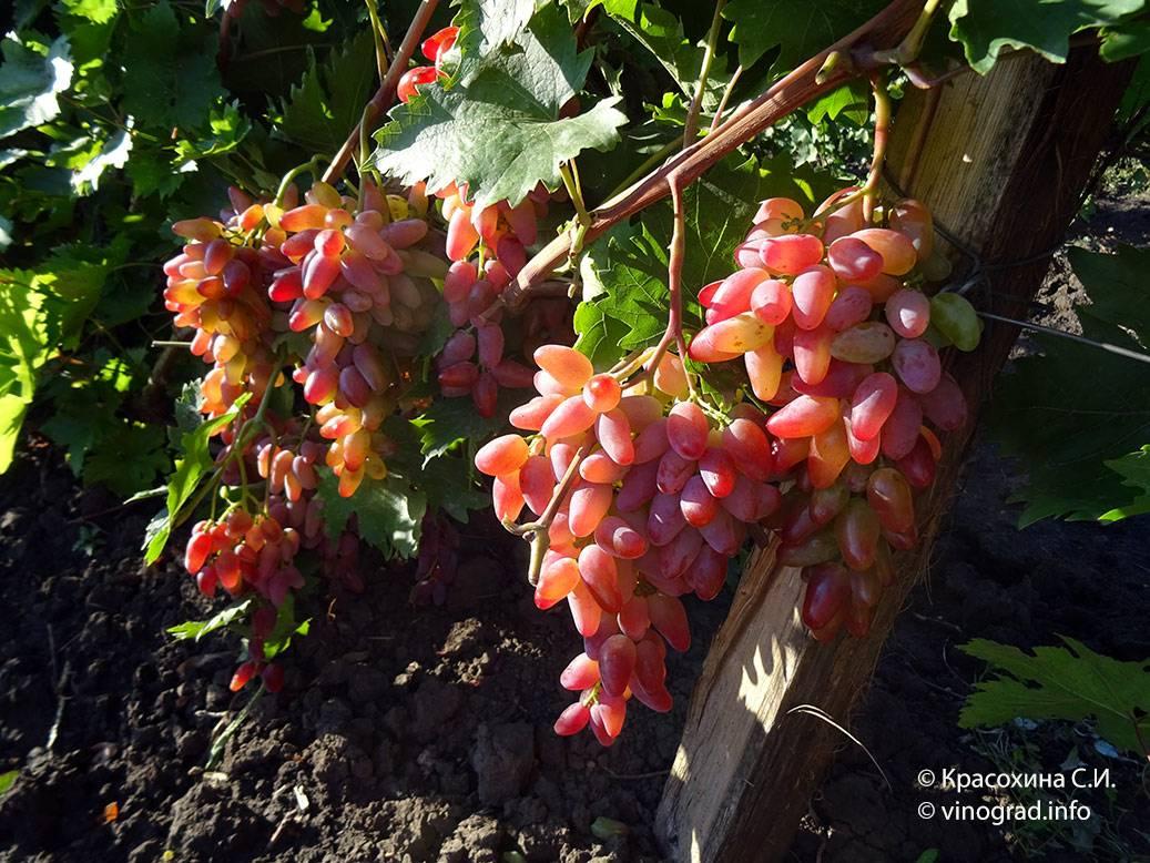 Виноград оригинал: описание сорта с характеристикой и отзывами, особенности посадки и выращивания, фото