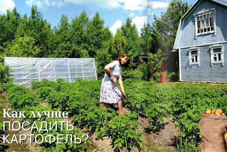 Посадка картофеля в гребни   во саду и в огороде