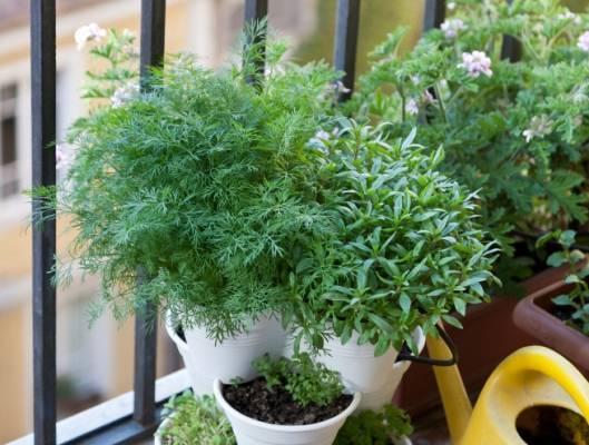 Секреты выращивания укропа на подоконнике из семян