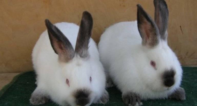 Кролик калифорнийский с описанием и видео