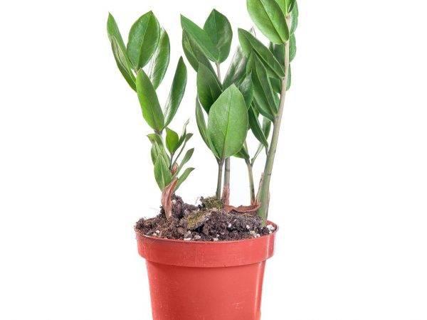 Замиокулькас ядовитый или нет: опасно ли долларовое дерево для детей или кошек, что делать, если малыш съел цветок, или сок растения попал в рану, каковы меры предосторожности?