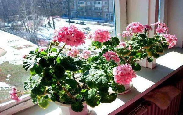 Герань - уход в домашних условиях, размножение, цветение и пересадка, видео