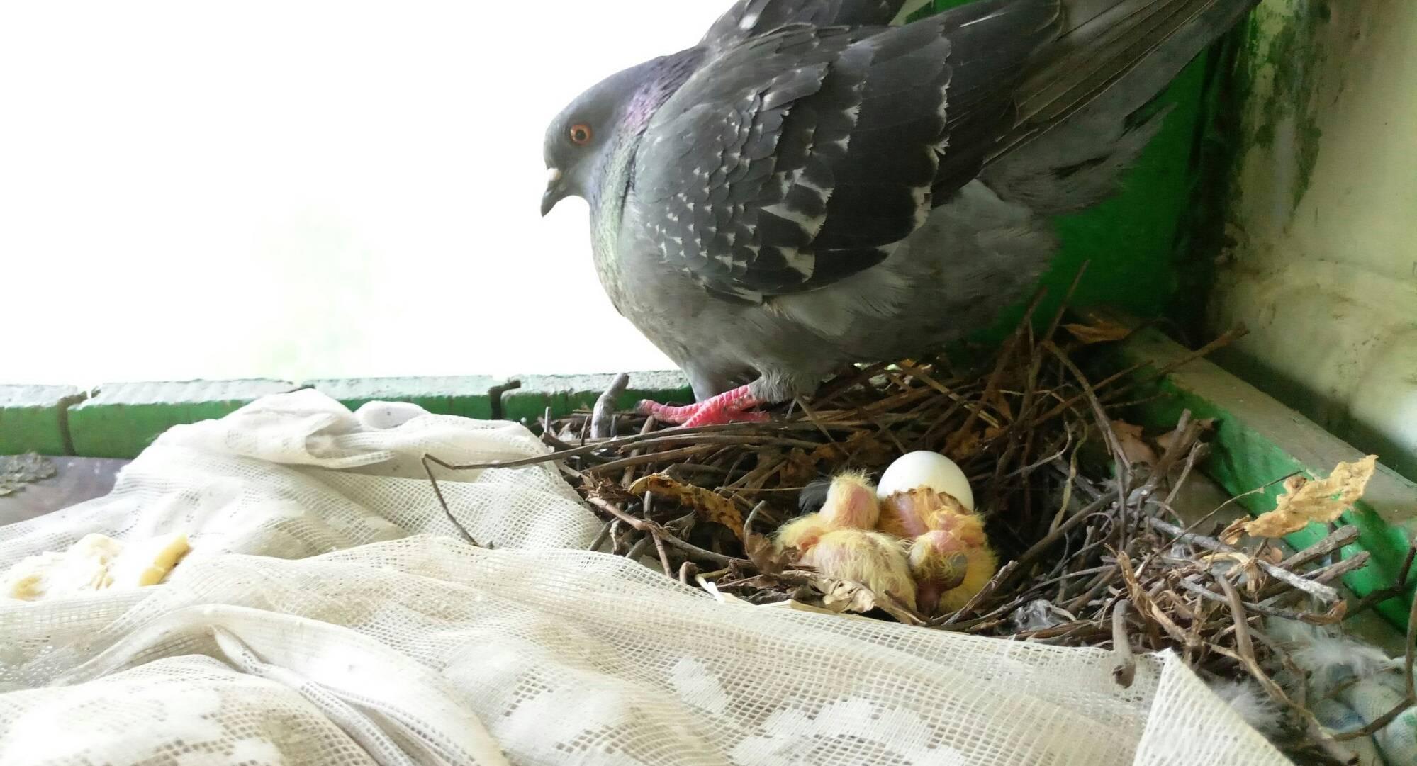 Чем кормить птенца голубя в домашних условиях, если он выпал, что они едят в дикой природе