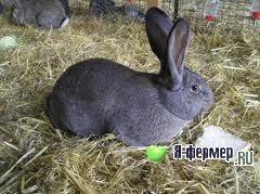 Инфекционный ринит - болезнь кроликов. | кролики. разведение и содержание в домашних условиях