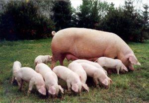 Способы и техника осеменения свиней – клуб любителей хрюш