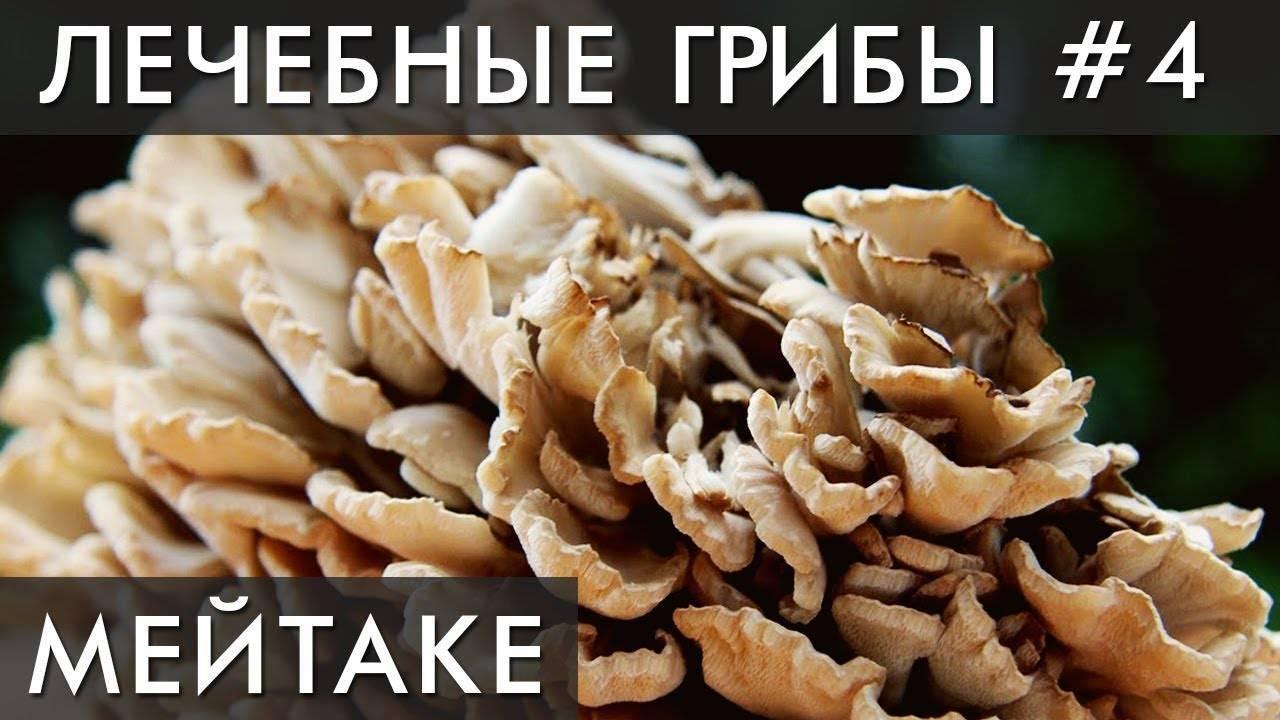 Грифола курчавая: почему гриб назвали бараном?