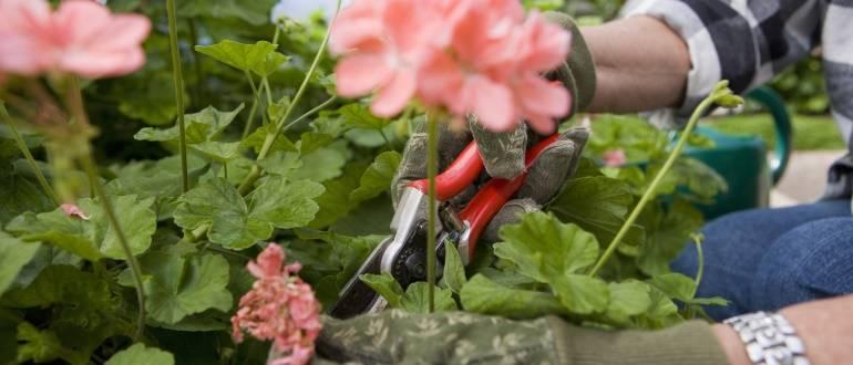 Правила обрезки и формирования герани для пышного цветения