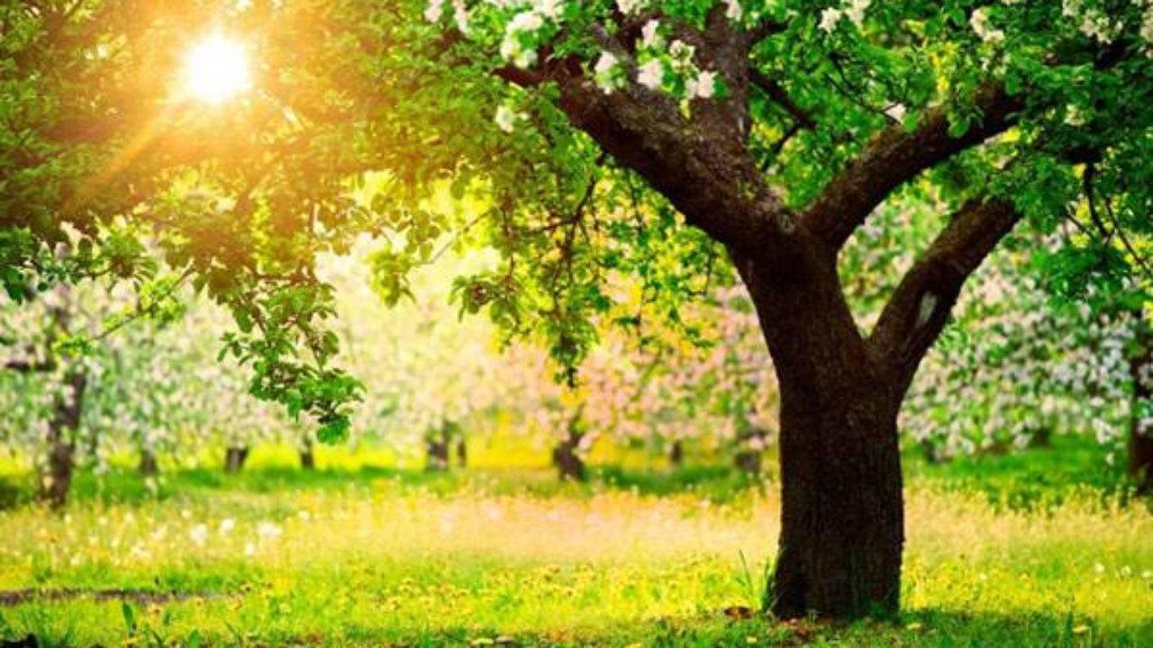 Сколько лет в среднем живет дерево яблони