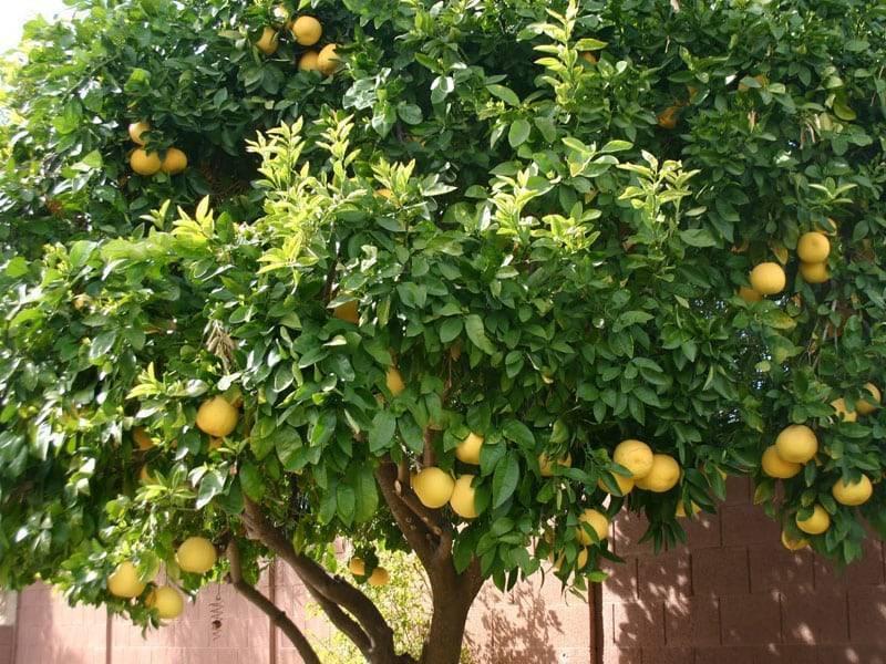 Памела (помело) фрукт: как растет, польза и вред, противопоказания, калорийность