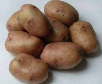 Неприхотливый в уходе и высокоурожайный сорт картофеля «агата»