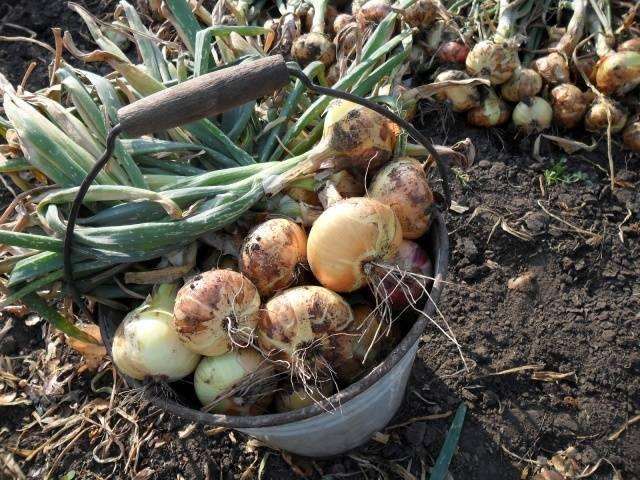 Когда убирать лук с грядки на хранение на зиму: сроки уборки репчатого овоща в сибири, а также в какое время надо снимать на урале, как нужно правильно обрезать?