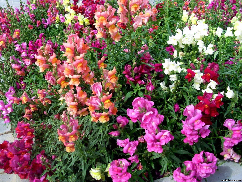 Цветок львиный зев: ампельный, низкорослый, выращивание рассады из семян в домашних условиях, посадка, уход, фото, видео