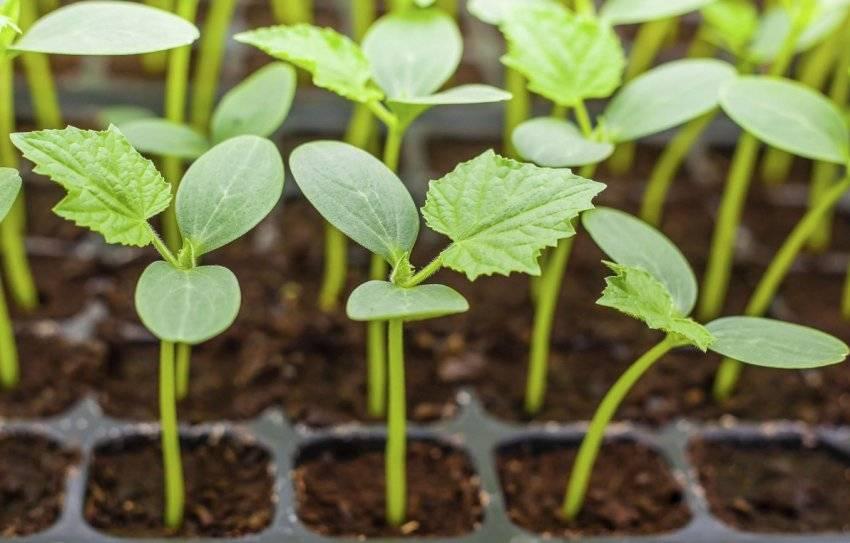 Основные болезни огурцов и меры борьбы с ними - огород, сад, балкон - медиаплатформа миртесен