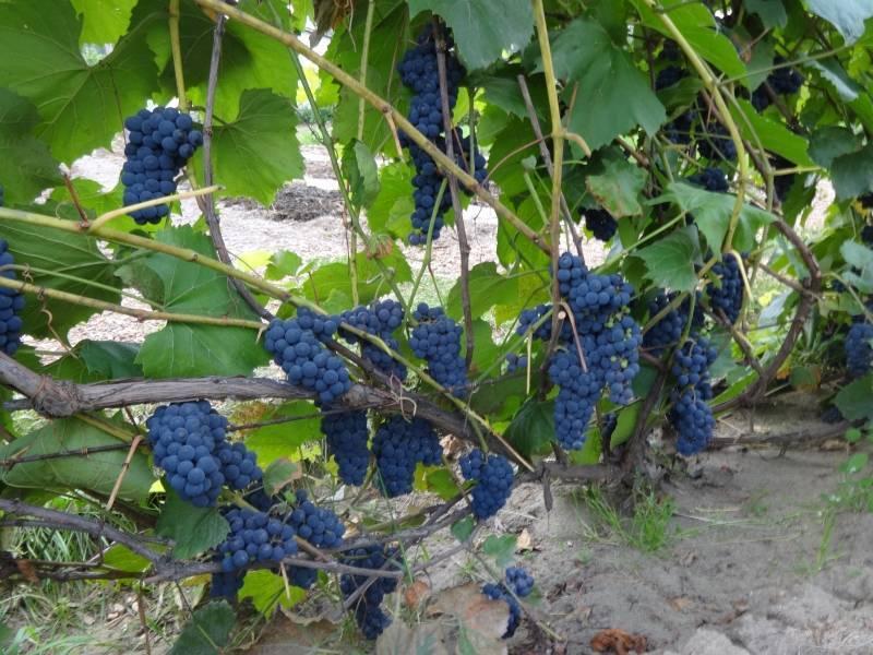 Сорта винограда дальневосточной селекции