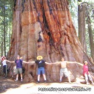 Сколько лет живут деревья (таблица)